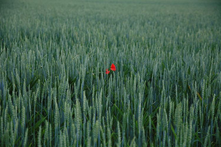 Red Poppy Blooming Amidst Plants On Field