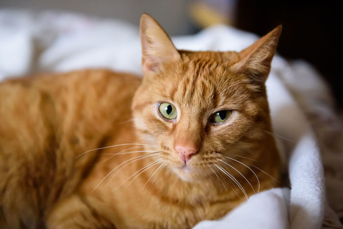 Beautiful closeup portrait of ginger cat. Animal Themes Cat Portrait Close-up Cute Ginger Cat Indoors  Looking At Camera Lovely Lovely Cat Mammal One Animal Pets Portrait Of Cat Smart Eye