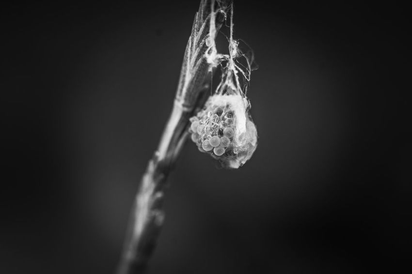 Egg sack Black And White Pentax Egg Sack Spider Eddie Sack Eggs... Spider Eggs Egg Sac Spider Egg Sac Hanging Egg Sac Macro Fibers No People Hanging Nature Mid-air Close-up