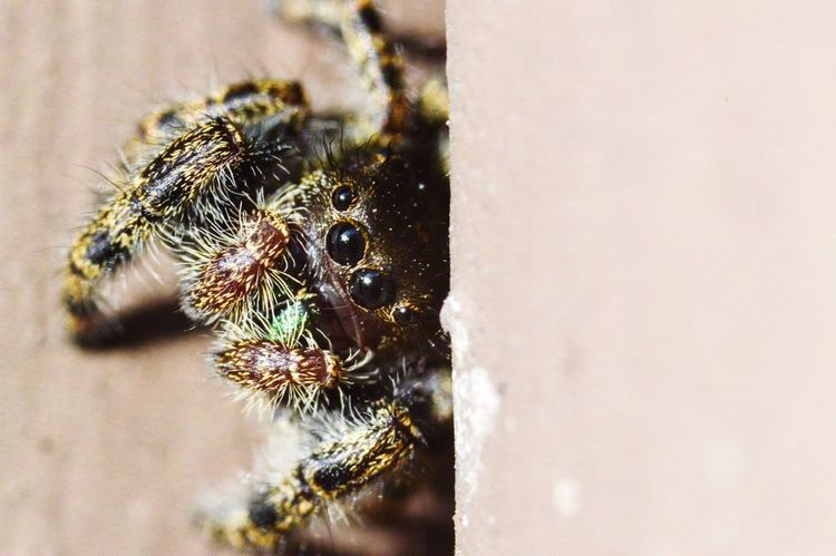 Cute macro jumping spider peeking out of a window sill Animals In The Wild Animal Themes Close-up Insect Spider Animal Wildlife One Animal Jumping Spider No People Nature Day Outdoors Macro Spider Macro Jumping Spider Spider Arachnid Macro Nature Macro Bugs