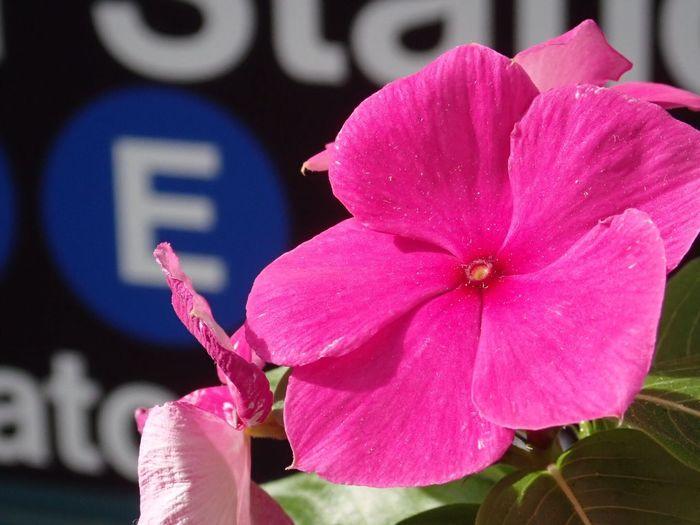 E flower. Pink