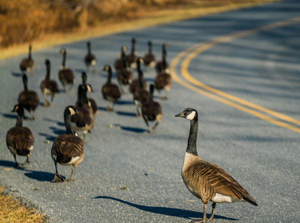 Geese Beautiful Nature Crossing The Street Animal Wildlife Outdoors Large Group Of Animals No People Goose