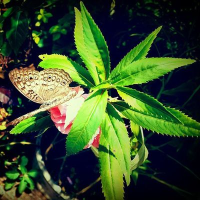 Goodevening  Awesome Butterfly Plants Live_plant Live_plant Cool Mobilephotography Superb SamsungS4 Samsung_galaxy Instaflowers Instaplant Instapicture Instaphotography Myworld MyPhotography Hiking Hike Likeforlikes Like Fantastic Bestoftoday Beautiful Tagsta_photo