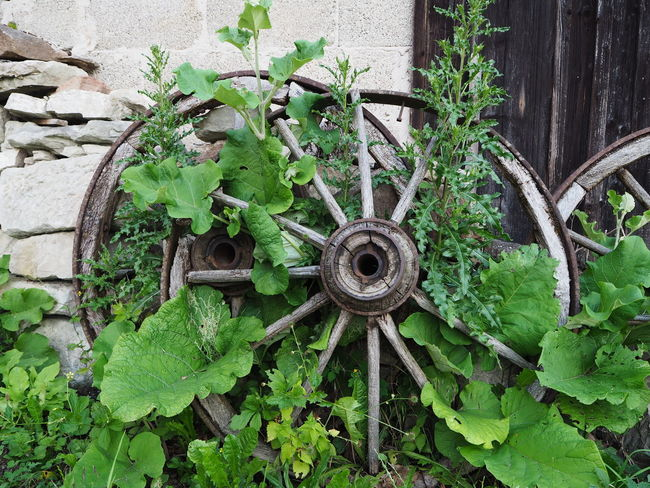 wagon wheels and greens Beautiful Wildlife & Nature Backgrounds Beauty In Nature Close-up Day Deterioration Germany Green Color Growth Leaf Nature No People Nostalgia Nostalgic  Old Outdoors Plant Plant Part Southgermany Wagon Wheel Wallpaper Wallpapers Wheel Wood - Material