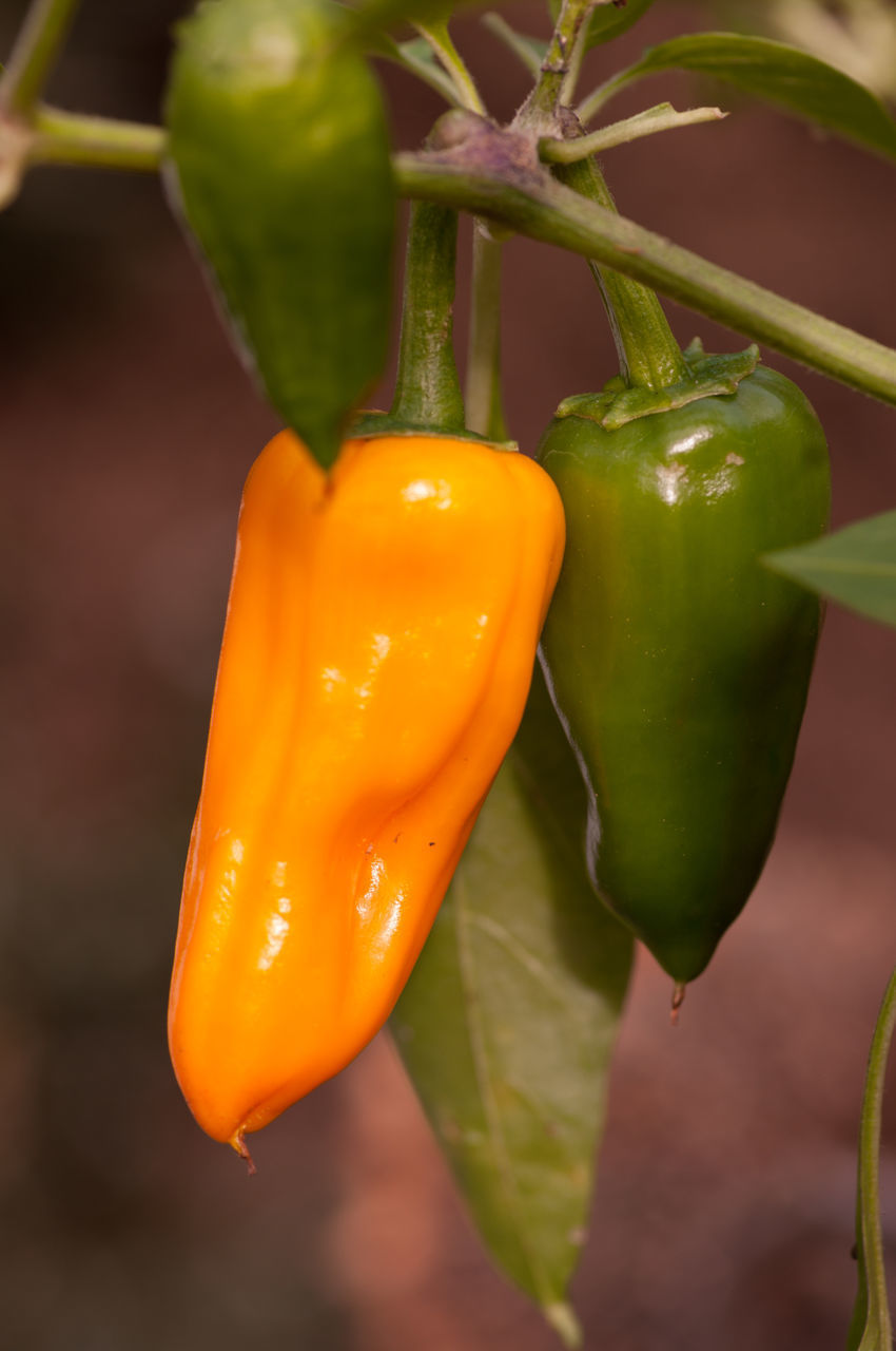 CLOSE-UP OF YELLOW CHILI PEPPERS IN PLANT