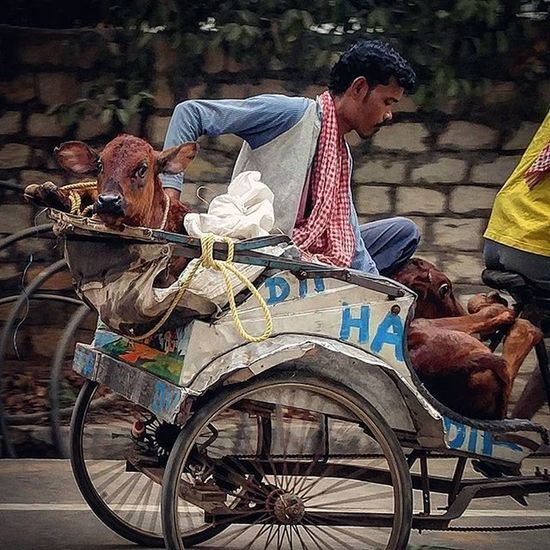 An Indian man is seen travelling with two cows on a rickshaw in Ranchi, Jharkhand, India. For Instagram 's WHPexpressions Communityfirst Everydayeverywhere Everydayindia Dailylife Dailylifeindia Photojournalism Journalism Reportagespotlight Oneplustech Oneplus2 Myfeatureshoot Ranchi Jharkhand India ASIA