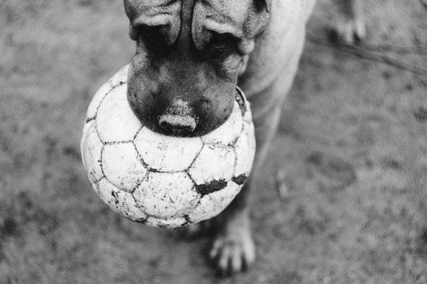 Soccer Field Soccer Soccer Player Sport Pets Soccer Ball Ball Close-up Football Domestic Animals Pet Collar Dog Pit Bull Terrier Canine Boxer - Dog Stray Animal The Still Life Photographer - 2018 EyeEm Awards World Cup 2018