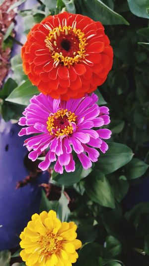 Yellow Zinnia Orange Zinnia Pink Zinnia Cut Flowers Farm