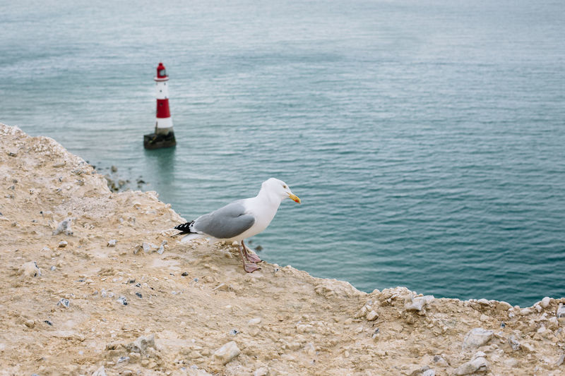 Animal Themes Animal Wildlife Animals In The Wild Beachy Head Bird Brighton Day Great Britain Gull Lighthouse Lighthouse_lovers My Year My View Nature No People Outdoors Sea Sea Bird Seagull Seagulls And Sea Water Lost In The Landscape Be. Ready.