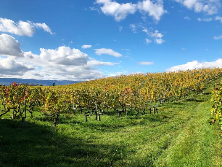 Field Agriculture Tranquility Tranquil Scene Landscape Beauty In Nature Scenics Rural Scene No People Growth Vineyard Cloud - Sky Sky Outdoors Day Switzerland