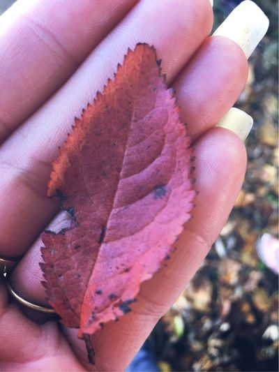 """""""The leaf"""" Human Hand Human Body Part One Person Holding Human Finger Real People Unrecognizable Person Personal Perspective Lifestyles Focus On Foreground Outdoors Close-up Day People Adult leaf,red leaf, Grass Red Freshness Autumn Nature Beauty In Nature"""