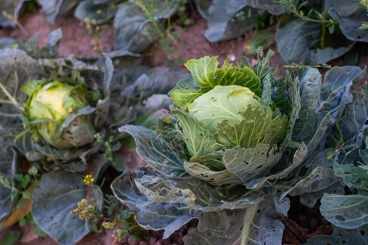 Agriculture Beauty In Nature Cabbage Close-up Day Field Flower Food Food And Drink Freshness Green Color Growth Healthy Eating High Angle View Land Leaf Nature No People Outdoors Plant Plant Part Vegetable Wellbeing