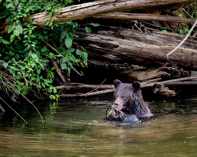 Out searching for wild grizzlies in the Great Bear Rainforest. Amazing to see these guys swimming to catch and eat salmon. Once you see them up close you start to think that an 800mm lens might be a better alternative to physically halving the distance between the bear and your 400mm lens ! Shot late in the day in Tweedsmuir South Provincial Park, British Columbia, Canada Animal Animal Themes Water One Animal Animal Wildlife Waterfront Mammal Vertebrate Nature Animals In The Wild Day Plant Outdoors No People Tree Swimming Wood - Material Animal Head  Logs Pile Grizzly Bear Ursus Arctos Horribilis Wild Bear Salmon Eating Tweedsmuir South Provincial Park