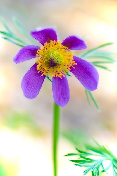 Pulsatilla vulgaris Pulsatilla Vulgaris Beauty In Nature Close-up Day Flower Flower Head Flowering Plant Focus On Foreground Fragility Freshness Growth Inflorescence Nature No People Outdoors Pasque Flower Petal Plant Pollen Purple Vulnerability  Yellow