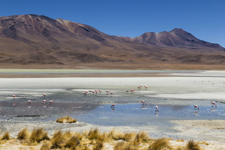 Andean Flamingos in Laguna Hedionda, Bolivia Andean Flamingo Andes Animal Themes Beauty In Nature Bolivia Bolivian Plateau Day Distant Flamingo Flamingo Flamingos Laguna Hedionda Lake Landscape Large Group Of Animals Mountain Nature Outdoors People Saline Lake Salt Lake Sand Scenics Sky South America