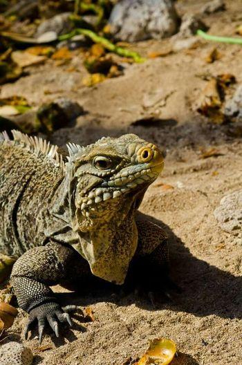 Cuba Iguana Iguana Island Lizard