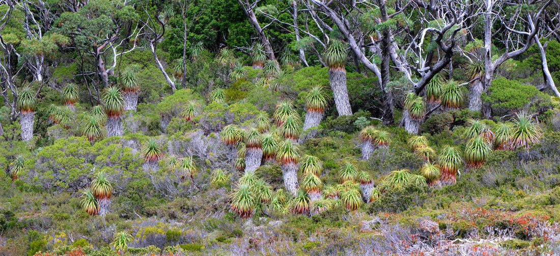 Tasmania Australia Nothofagus Mossy Rock Moss Cradle Mountain - Lake St Clair National Park Lake St Clair Mount Rufus Pandanus Ancient Plant Growth Beauty In Nature Tranquility No People Environment Remote World Heritage