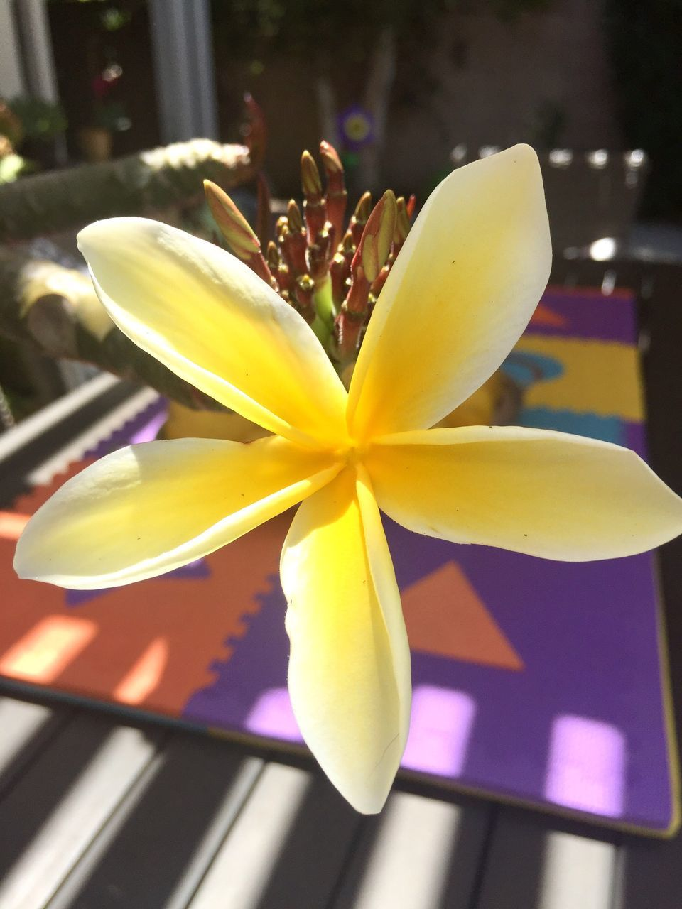 close-up, flower, flowering plant, yellow, plant, frangipani, no people, flower head, inflorescence, freshness, beauty in nature, nature, petal, focus on foreground, indoors, fragility, vulnerability, table, day, selective focus, purple