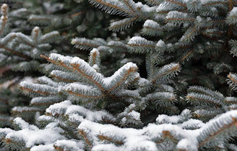 Close up of silver fir tree branch covered with snow during winter Snowfall Green Outdoor Plant Winter Cold Temperature Silver  Fir Tree Fresh Beautiful Fir Snow Tree Branch White Background Season  Seasonal Pine Frost Nature Frame Happy Forest Blue Cover Spruce Decor Design Bright Cold December Evergreen Ice Old Wooden Snowflake Border Frosty January Frozen Conifer  Outside Icicle Close Up Colorful Environment Natural