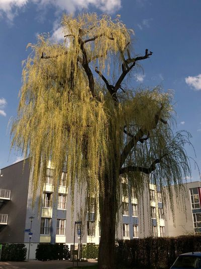 Trauerweide Bad Schönborn Tree Plant Sky Built Structure Low Angle View Architecture Building Exterior