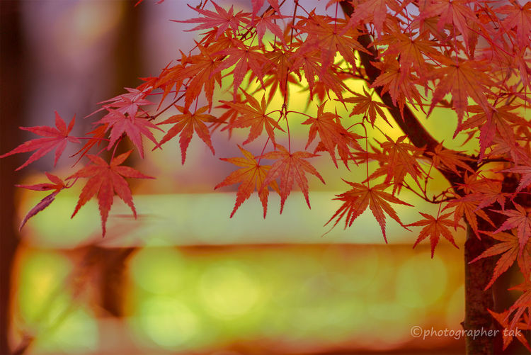 """Japanese autumn leaves. """"Ko-yo""""of Japan. Natural Condition Autumn Collection Tree Nature Red Beauty In Nature Change Leaf Autumn Autumn Mood"""