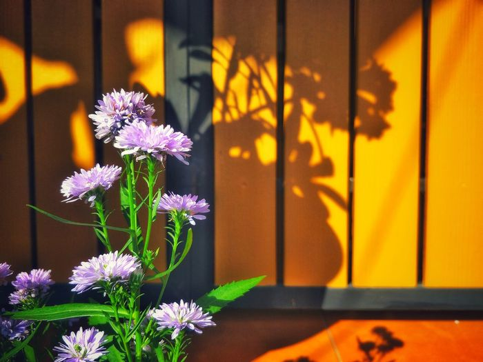 Close up of purple aster flowers are blooming with light and shadow on surface of modern wooden fence background in home decorations concept Growing Home House Modern Style Dedign Aster Blooming Light And Shadow Decoration Flower Purple Day Window Plant Outdoors No People Focus On Foreground Building Exterior Built Structure Flower Head Shadow Architecture Fragility Nature Close-up Beauty In Nature