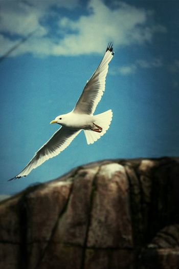 Coolshot Photography Seagul InAction