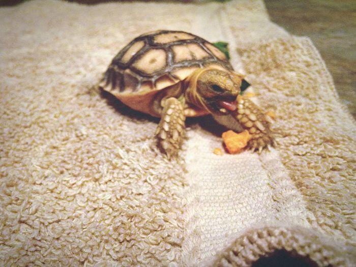Tortoise Tortoiselife Desert Tortoise Groot, our baby tortoise!