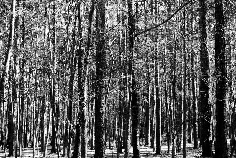 B&w Forest Contrast Highlights Grayscale Trees Nature Outdoors Backgrounds Texture Vertical Lines Scenics Branches Denseforest