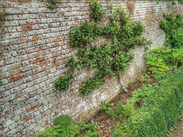Climbing Apple Tree Apple Tree Climbing Tree Plants 🌱 Plants On The Wall Outdoors Plants On The Fence Charles Darwin's Garden Brick Wall Bricks Texture