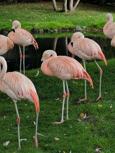 Flamingos on two legs Flamingo Bird Water Colony Lake Wading Pink Color Grass