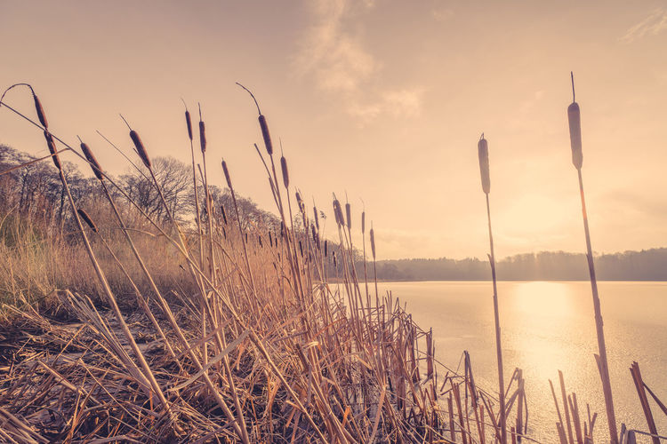 Cattails at lakeshore against sky during sunset