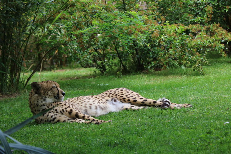 Zoo De La Flèche Animal Animal Themes Animal Wildlife Animals In The Wild Beauty In Nature Big Cat Cheetah Day Feline Grass Land Mammal Nature No People One Animal Plant Relaxation Tree