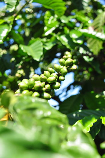 Cafe Coffee Coffee Seeds Dalat Tree
