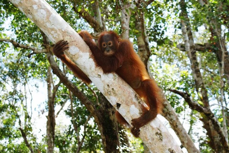 Orangutan Tree Animal Wildlife Primate Orangutan Mammal Animals In The Wild Monkey Branch One Animal Forest Animal Animal Themes Nature Endangered Species Day Ape Outdoors No People Low Angle View Tree Trunk