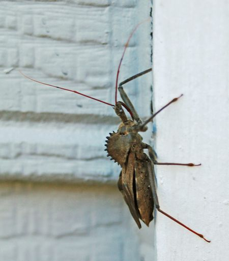 Bad Bug Bug Life Insect Photography Wheel Bug Predator Nature Painful Bite