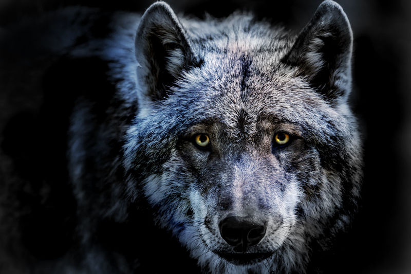 Close-Up Portrait Of Wolf Standing Against Black Background