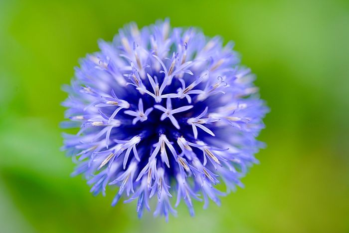 Southern Globethistle Echinops Ritro Flowering Plant Flower Freshness Fragility Vulnerability  Plant Inflorescence Beauty In Nature Flower Head Growth Close-up Nature Purple Focus On Foreground Petal No People Botany Blue
