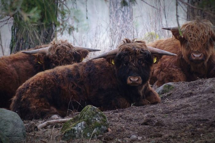 Björkvik 2017 Januari Niklas Sweden Showcase January 2017 Animal Themes Mammal Domestic Animals Horned Outdoors Nature Livestock Animals In The Wild Highland Cattle BYOPaper! The Week On EyeEm Perspectives On Nature