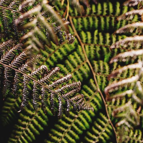 Wild Ferns Wilted Plant Green Color Plant Leaves Flora Patterns Flora Fern Plant Growth Beauty In Nature Close-up No People Fragility Selective Focus Green Color Nature Day Pattern Outdoors Tranquility Sunlight Natural Pattern Freshness