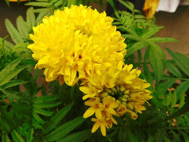 marigold Flower Yellow Marigold🌻🌻 Love First Love Beauty In Nature Beauty Beautiful Creation Nature Nature_collection Wildlife & Nature Wild Flowers Horticulture Garden Photography Nationalpark Nationalgeographic Wild