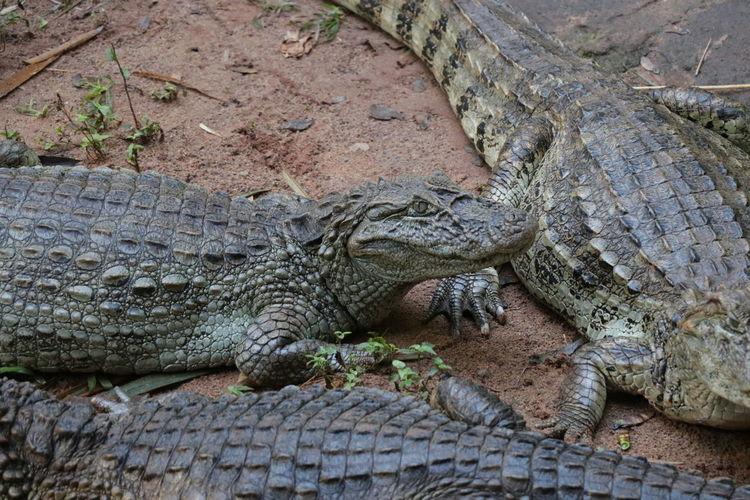 High angle view of crocodile on the ground