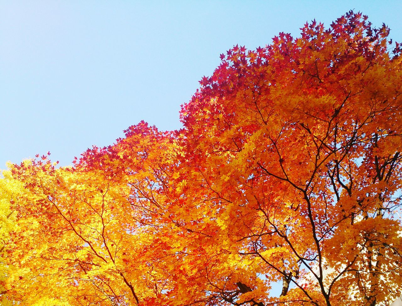 autumn, change, tree, orange color, plant, low angle view, beauty in nature, sky, nature, growth, branch, day, no people, clear sky, yellow, tranquility, outdoors, leaf, plant part, scenics - nature, natural condition, fall, autumn collection