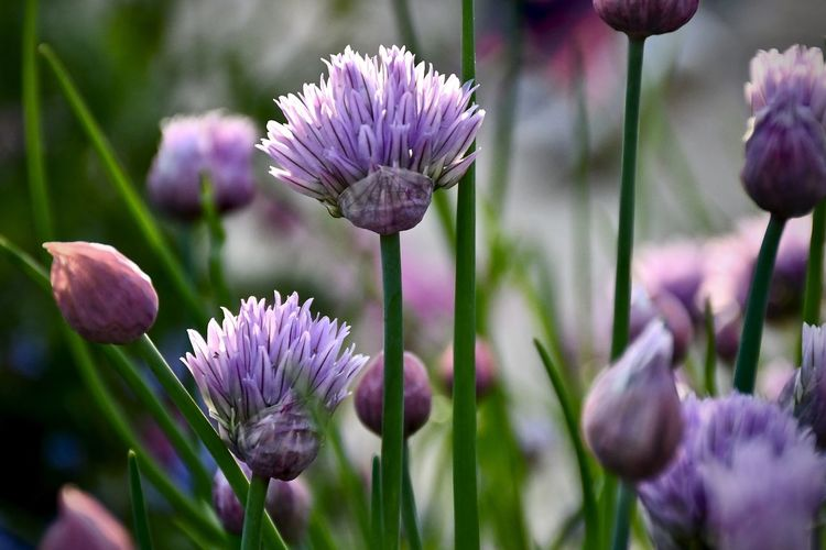 Chive Flower In Blossom Purple Flower Freshness Springtime No People Day Plant Stem Close-up Flower Head Selective Focus EyeEm Flower Eyeem Flower Gallery
