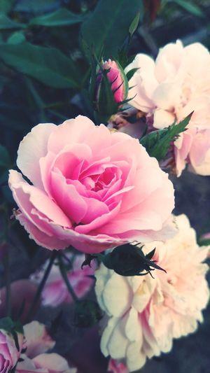 Pale pink rose Flower Head Flower Peony  Pink Color Petal Close-up Plant Pale Pink Blossom In Bloom Flowering Plant Rose - Flower Botany Plant Life Wild Rose Pistil