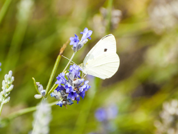Dream Hope Love Animal Themes Animals In The Wild Beauty In Nature Butterflies In My Stomach Butterflies On Lavender Butterfly Close-up Day Flower Flower Head Fragility Freshness Growth Insect Insects  Lavender Nature No People One Animal Outdoors Plant Spring The Week On EyeEm