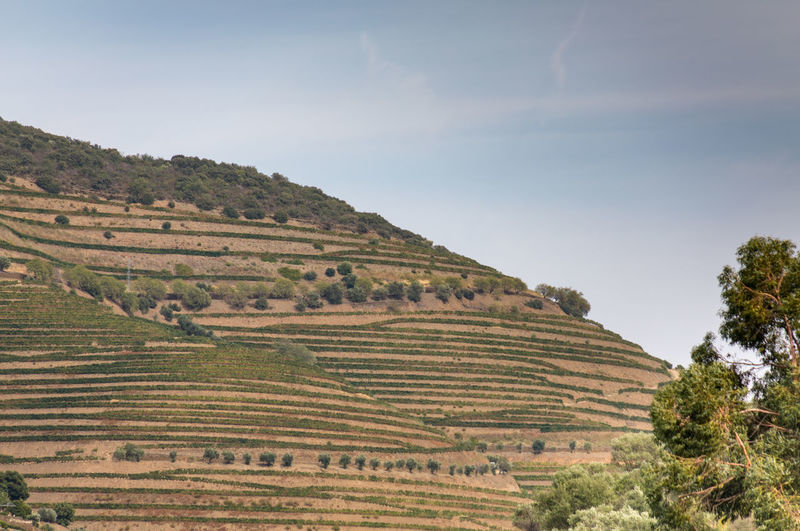 Vineyards on hills of Douro Valley Douro  Portugal Agriculture Beauty In Nature Crop  Day Environment Farm Field Green Color Growth Land Landscape Nature No People Outdoors Plant Plantation Rolling Landscape Rural Scene Scenics - Nature Sky Tranquil Scene Tranquility Tree Vineyard