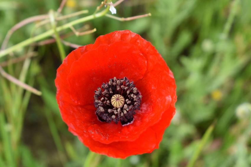 Coquelicot Istres PACA Bouche Du Rhône Coquelicotssauvages Fleur Fleurs Flower