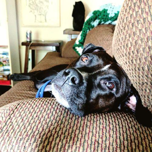 EyeEm Selects Dogs Of EyeEm First Eyeem Photo Pitbullsofinstagram Pitbull♥ Dogstagram Dogslife Lifestyles PitBullNation