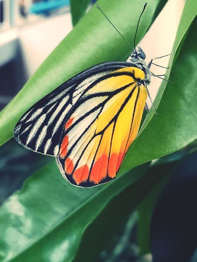 Perching Spread Wings Flower Multi Colored Animal Markings Leaf Butterfly - Insect Full Length Butterfly Insect